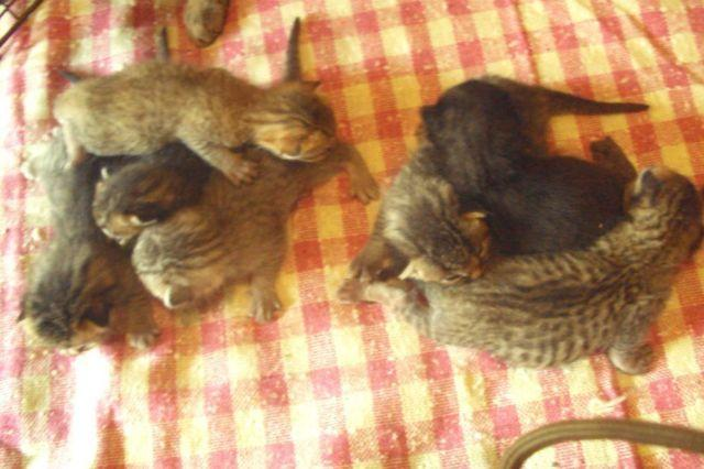Bengal kittens for sale in lancaster pa