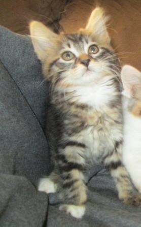 Maine Coon Kittens For Sale Seattle 3/4 Maine-coon-Bengal ...
