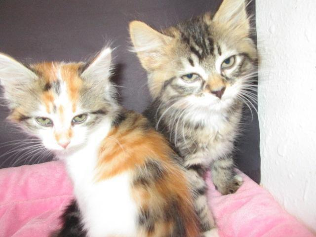 Maine Coon Kittens For Sale Seattle Maine coon seattle bre...