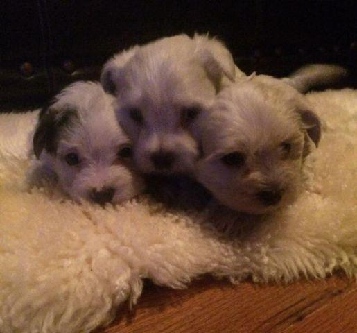 maltese puppy for sale in tn 3 4 maltese 1 4 morkie puppies for sale in cookeville 2505
