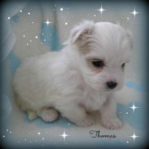 3/4 Maltese Puppies~Malshi~2 Adorable Little Boys
