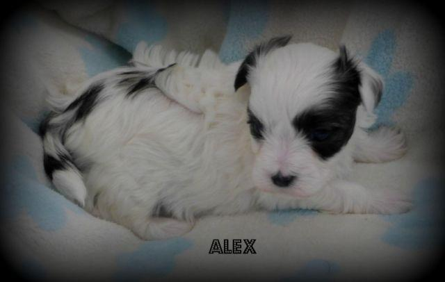 3/4 Maltese Puppy~Absolutely Adorable~Black & White
