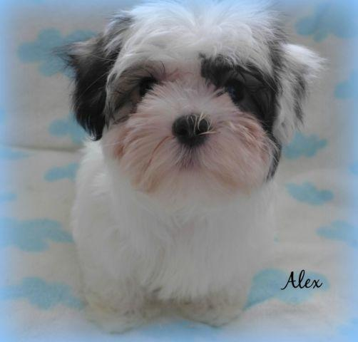 3/4 Maltese Puppy~Absolutely Adorable Little Boy!