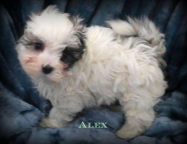 3/4 Maltese Puppy~Adorable Little Male!