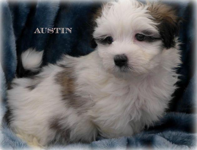 3/4 Maltese Puppy~Exceptional Male~Ready for His