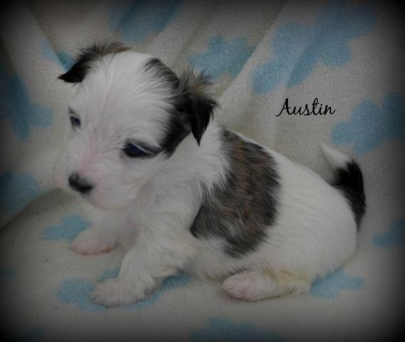 3/4 Maltese Puppy (Malshi)~Gorgeous Tri Color~Adorable