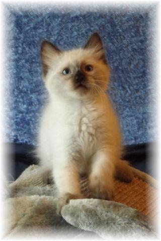 3 Adorable Purebred Ragdoll Kittens For Sale In San