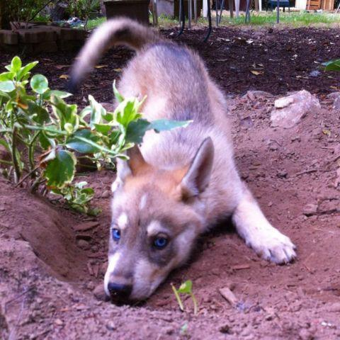 German Shepherd Husky Puppies Classifieds Buy Sell German