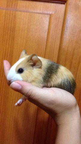 Guinea pigs for sale in tampa florida