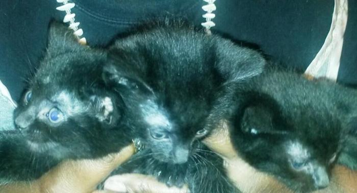 3 Black Hemingway Kittens Available (Buffalo)