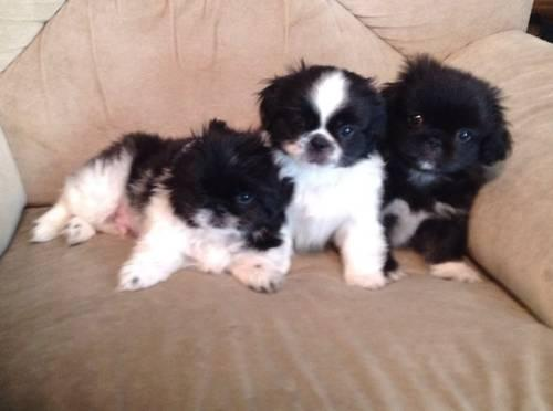 3 cute male UKC Pekingese puppies