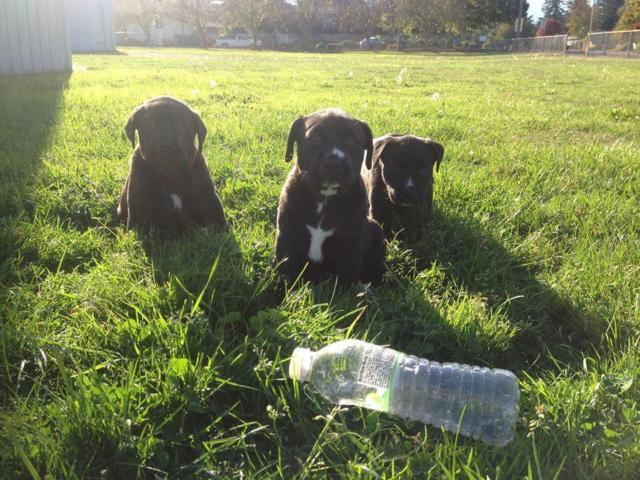 3 female Brown-Black lab 8 weeks old