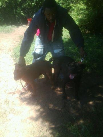 3 gamebred female pitbull pups 4 $@le