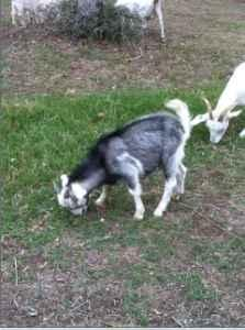 3 Kiko Buck Goats - $70 (Bastrop / Smithville)