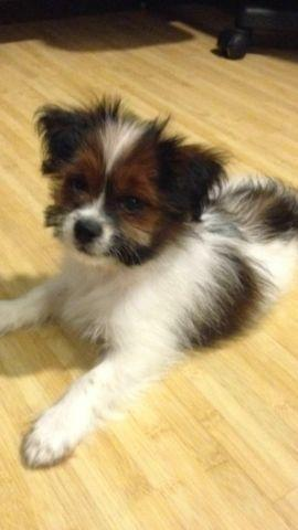 3 Month Old Shih Tzu Pomeranian Mix For Sale In San Jose California