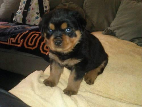 3 Pure Bred Female Rottweiler Puppies
