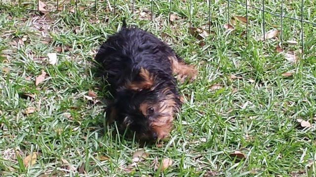 3 Pure bred male Yorkie puppies