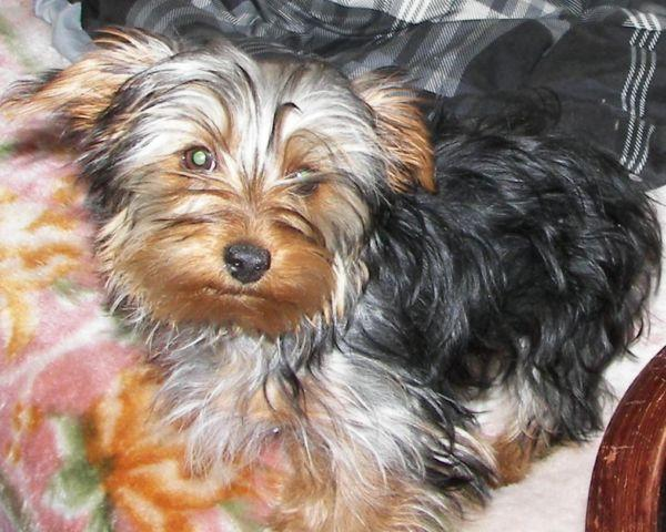 purebreed yorkie 3 purebred yorkie male puppies for sale 5 months old for 9583