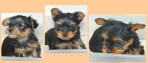 3 Tiny Yorkie Puppies. All Girls, AKC
