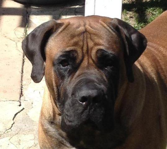 3 Year Old Boerboel (South African Mastiff) To Good Home