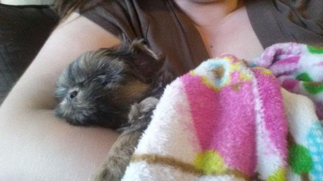 3 Yorkie/Shih Tzu Puppies for Adoption - 9 weeks old  for