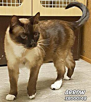 38000148 Arrow Siamese Adult Male