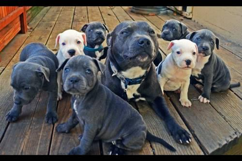 Blue Staffy For Sale : Blue nose akc staffordshire bull terrier puppies weeks old