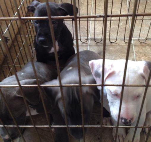 4 Cute Male Pitbull puppies All ready for there new