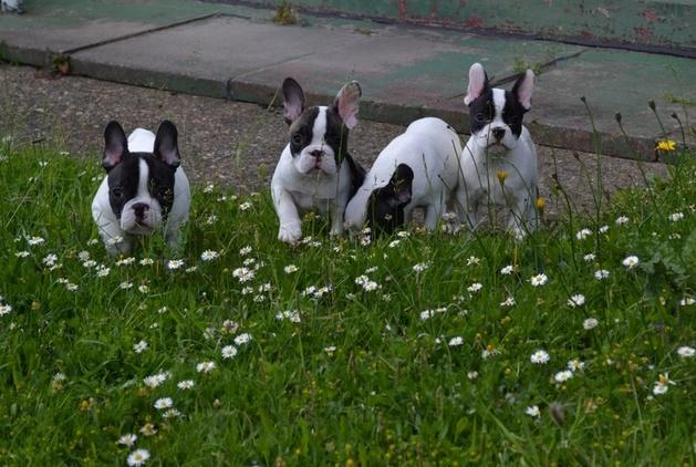 4 Gorgeous French Bulldog For Sale