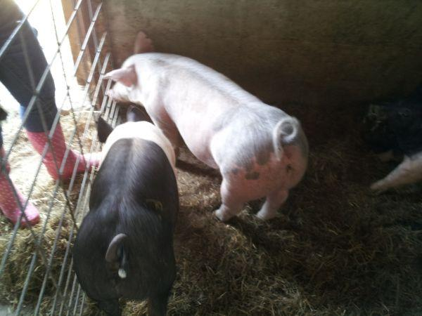 4 h pigs for sale cedarville ohio for sale in