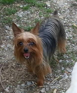 lb Yorkie female adult for Sale in Rockford, Illinois Classified ...: rockford-il.americanlisted.com/61102/pets-animals/4-lb-yorkie...