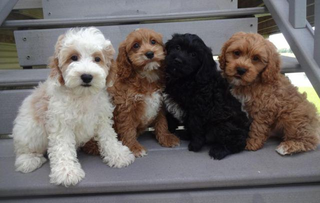 Dog Cockapoo Pets And Animals For Sale In The Usa Puppy And Kitten