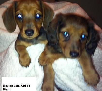4 mini dachshund puppies for sale !