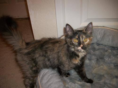 russian blue kitten adoption