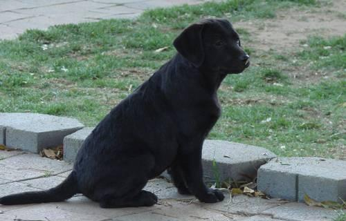 4 Month Old Black Lab Female Pup Akc English Champion