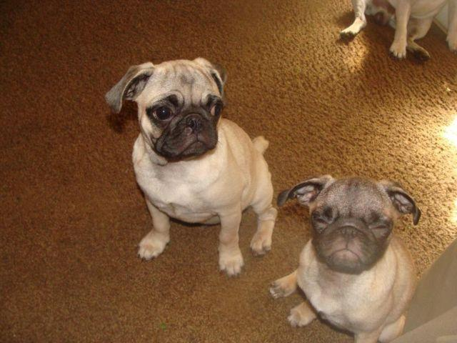 4 month old Pug Puppies