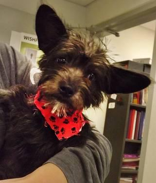4 MONTH OLD Rescued Yorkshire terrier mix for adoption for ...