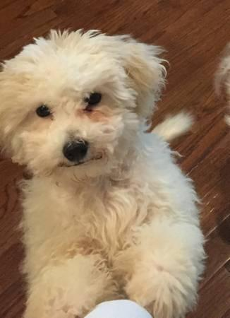 4 MONTH OLD WHITE MALE BICHON FRISE PUPPY