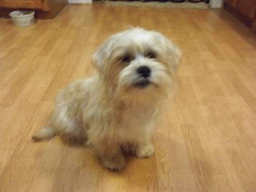 4 year old Shi Tzu Free to Good Home