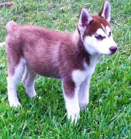Male Siberian Husky Puppys One Red One Black For Sale In Rockwall