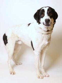 44788 Elvis Great Pyrenees Adult Male