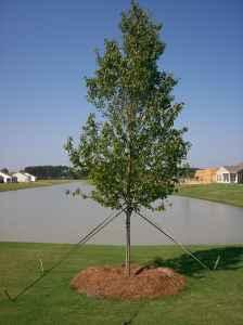 45 Gallon Live Oaks Maples Bald Cypress 15 17 Ft Tall