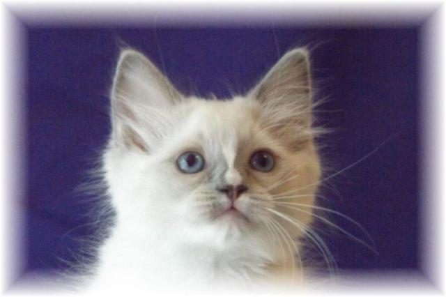 5 Adorable Purebred Ragdoll Kittens