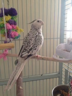 5 Adult White Face Cockatiels Male Amp Female For Sale In