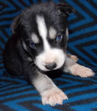 5 AKC Black & White Siberian Husky Male Puppies Blue Eyes ...