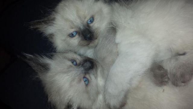 5 Gorgeous Seal Point Ragdoll Kittens - Male and Female for