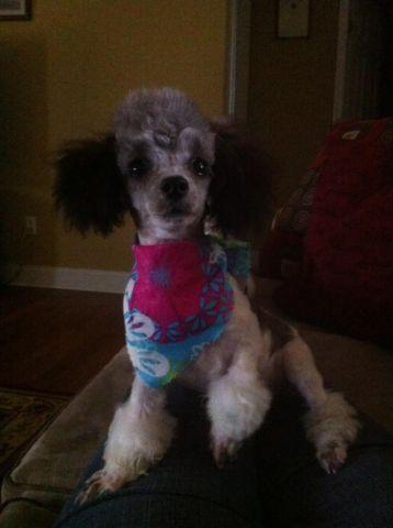 5 lb 8 Month old female Party Poodle CKC Registered