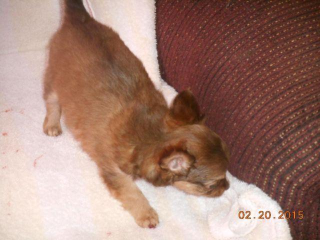 5 male and 3 female 8 week old Chicuahua puppies for