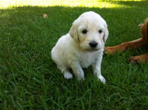 5 Male Goldendoodle Puppies 6 1 2 Weeks Old For Sale In