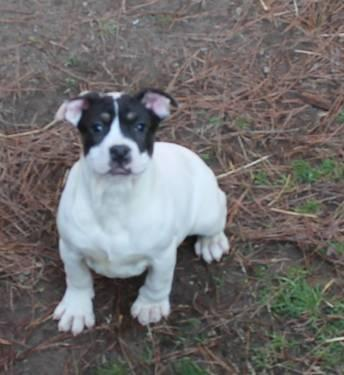 5 Month Old Pocket Bully Female For Sale For Sale In
